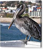 Juvenile Brown Pelican Canvas Print