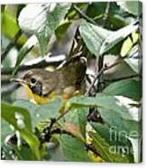 Juvenile Common Yellowthroat Canvas Print