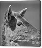 Juvenile Deer Close-up V2 Canvas Print