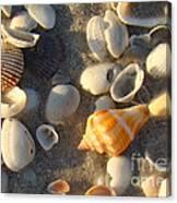 Juvenile Florida Fighting Conch Canvas Print