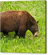 Juvenile Grizzly Bear In Kootenay Np-bc Canvas Print