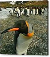 Juvenile King Penguin Canvas Print