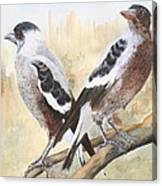 Juvenile Maggies Canvas Print