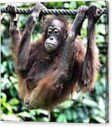 Juvenile Orangutan Borneo Canvas Print