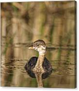 Juvenile Pied-billed Grebe Canvas Print