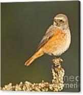 Juvenile Redstart Phoenicurus Phoenicurus Canvas Print