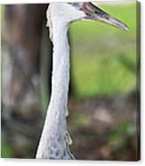 Juvenile Sandhill Crane Grus Canadensis Pratensis I Usa Canvas Print