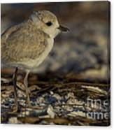 Juvenile Snowy Plover Photo Canvas Print