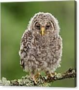 Juvenile Ural Owl Canvas Print