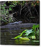 Juvie Gator Canvas Print