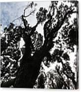 Kahikatea New Zealand Native Tree Canvas Print