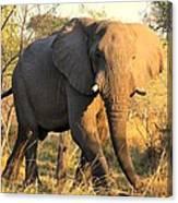 Kalahari Elephant Canvas Print