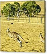 Kangaroo Hop Canvas Print