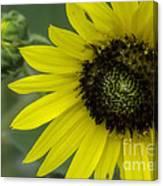 Kansas State Flower Canvas Print