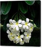 Kawela Plumeria Canvas Print