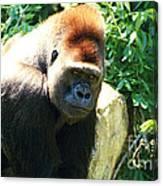 Kc Gorilla-3 Canvas Print
