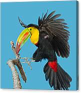 Keel-billed Toucan About To Land Canvas Print