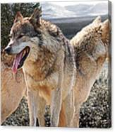 Keeping Watch - Pair Of Wolves Canvas Print