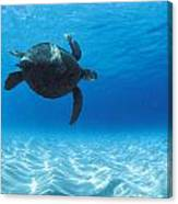 Keiki Turtle Canvas Print