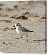 Kentish Plover Canvas Print