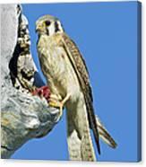 Kestrel At Nest Canvas Print