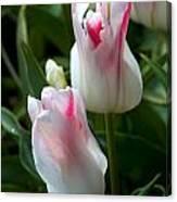 Keukenhof Tulip Buds Canvas Print