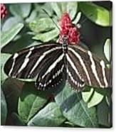 Key West Butterfly Conservatory - Zebra Heliconian Canvas Print