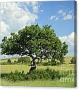 Kigelia Pinnata Tree Canvas Print