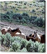 Kiger Mustangs At Mineral And Water Source Canvas Print