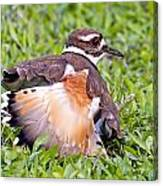 Killdeer 2 Sleight Of Wing Canvas Print