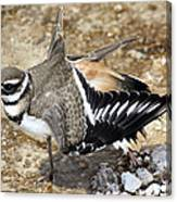 Killdeer Fakeout Canvas Print