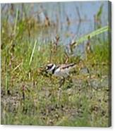 Killdeer Hatchling Canvas Print