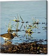 Kildeer Hunting For Worms Canvas Print