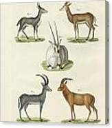 Kinds Of Antilopes Canvas Print