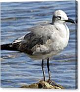 King Of The Rock Seagull Canvas Print