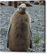 King Penguin Chick Canvas Print