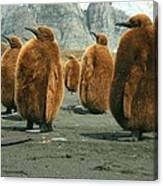 King Penguin Chicks Canvas Print