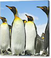 King Penguins Looking Canvas Print