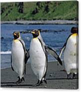 King Penguin Trio On Shoreline Canvas Print