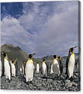 King Penguins On Rocky Beach South Canvas Print