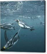 King Penguins Swimming Macquarie Isl Canvas Print