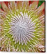 King Protea Flower Macro Canvas Print
