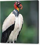 King Vulture In Breeding Colors Canvas Print