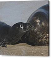 Kissing Seals Canvas Print