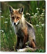 Kit Red Fox Canvas Print