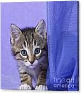 Kitten With A Curtain Canvas Print