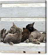 Kittens In Hydra Island Canvas Print
