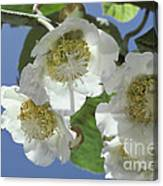 Kiwifruit Blossoms Canvas Print