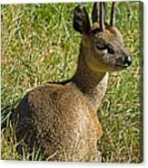Klipspringer Antelope Canvas Print