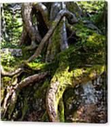 Knarly Old Tree Stump Switzerland Canvas Print